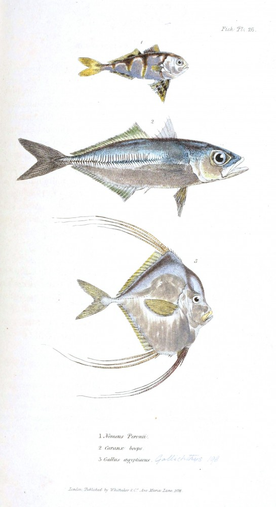 Animal - Fish - Couvier 1834 -  (35)