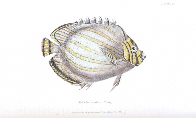Animal - Fish - Couvier 1834 -  (4)