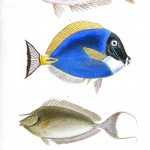 Animal - Fish - Couvier 1834 -  (9)