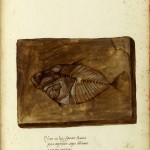 Animal - Fish Fossil - Italian