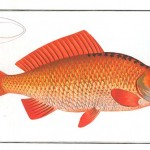 Animal - Fish - Goldfish (2)