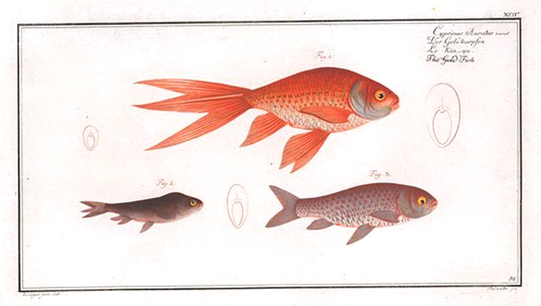 Animal - Fish - Goldfish group