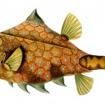 Animal - Fish - Haeckel Tetrosomus_gibbosus