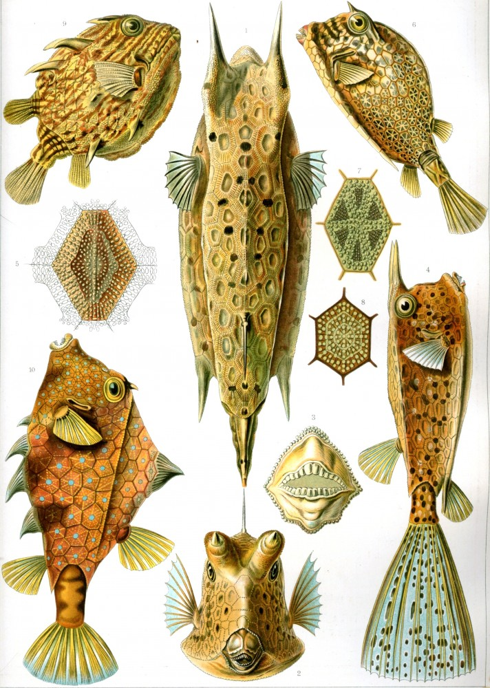 Animal - Fish - Haeckel_Ostraciontes Kundstform de Natur (1905)