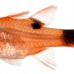 Animal - Fish - Photo - Apogon maculatus, Juvenile (Flamefish)