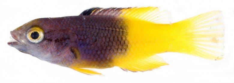 Animal - Fish - Photo - Bodianus rufus, Juvenile (Spanish Hogfish)
