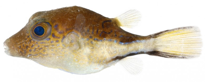Animal - Fish - Photo - Canthigaster rostrata (Caribbean Sharp-Nose Puffer)