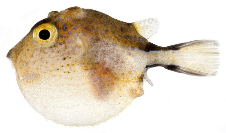 Animal - Fish - Photo - Canthigaster rostrata, Inflated (Caribbean Sharp-Nose Puffer)