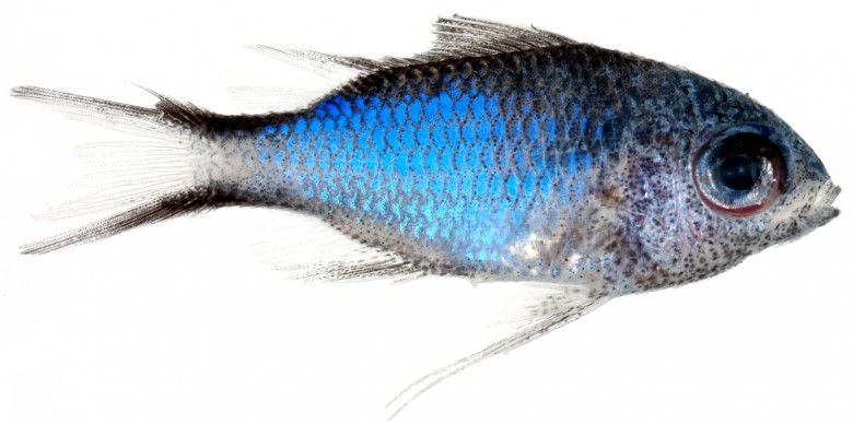 Animal - Fish - Photo - Chromis cyanea (Blue Chromis)