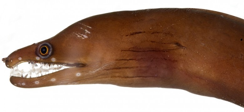 Animal - Fish - Photo - Eel - Enchelycore carychroa, Head (Caribbean Chestnut Moray)