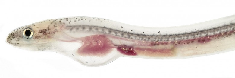 Animal - Fish - Photo - Eel - Myrophis, Larval Head (Worm Eel)