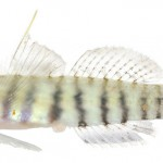 Animal - Fish - Photo - Elacatinus pallens (Semiscaled Goby)