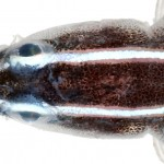 Belize Larval-Fish Group