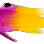 Animal - Fish - Photo - Gramma loreto, Adult (Royal Gramma)