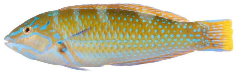Animal - Fish - Photo - Halichoeres radiatus, Terminal Phase (Puddingwife Wrasse)