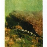 Animal - Fish - Photo - Pike