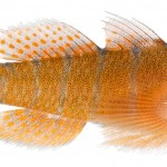 Animal - Fish - Photo - Priolepis hipoliti, Adult (Rusty Goby)