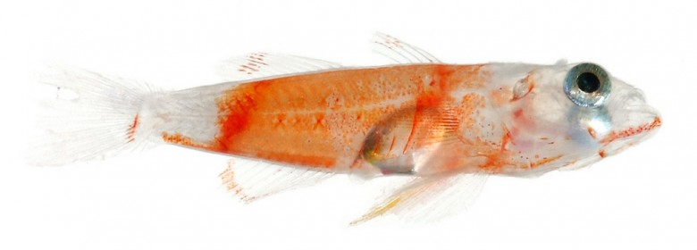 Animal - Fish - Photo - Priolepis hipoliti, Juvenile (Rusty Goby)
