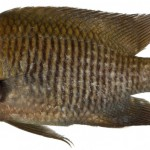 Animal - Fish - Photo - Stegastes diencaeus, Adult (Longfin Damselfish)
