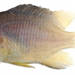Animal - Fish - Photo - Stegastes partitus, Juvenile (Bicolor Damselfish)