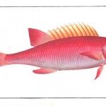Animal - Fish - Redfish
