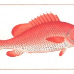 Animal - Fish - Redfish2
