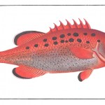 Animal - Fish - Redfish3
