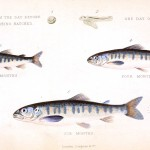 Animal - Fish - Salmon - Educational plate - growth