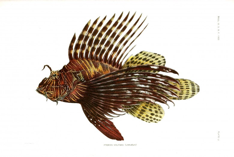 Animal - Fish - Samoa  (9)