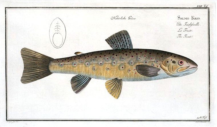Animal - Fish - Trout