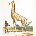 Animal - Giraffe - Giraffe or camel-leopard