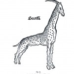 Animal - Giraffe - Historical giraffe (2)