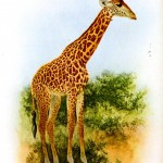 Animal - Giraffe - Illustration British 1912