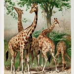 Animal - Giraffe - Illustration, Giraffes among trees