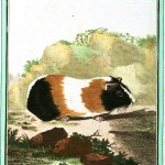 Animal - Guinea pig - Buffon's Quadrupeds (38)