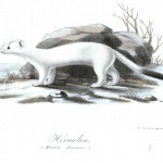 Animal - Illuminerade Figurer - Woodland - Ermine