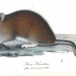 Animal - Illuminerade Figurer - Woodland - Rat