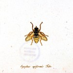 Animal - Insect - A bee