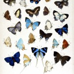 Animal - Insect - Butterfly - Blue - Collection 3