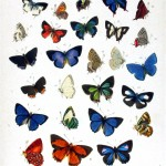 Animal - Insect - Butterfly - Blue - Collection 5