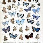 Animal - Insect - Butterfly - Blue Collection 7