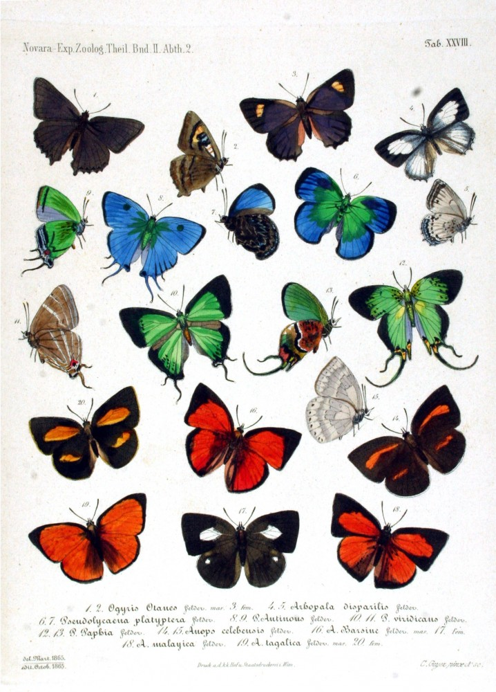 Animal - Insect - Butterfly -  Blue - Collection