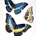 Animal - Insect - Butterfly - Blue and Yellow