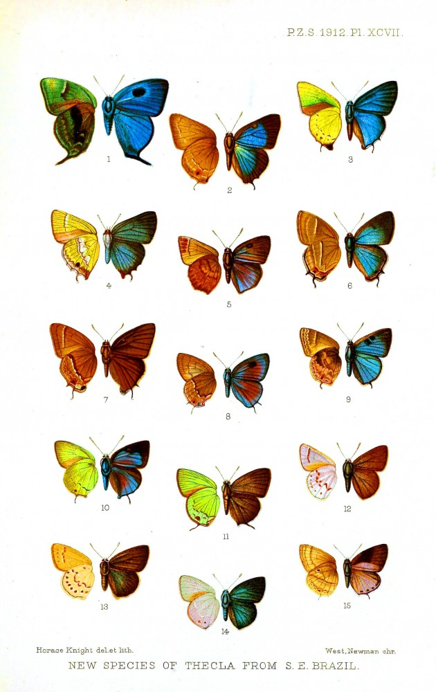 Animal - Insect - Butterfly - British 1912