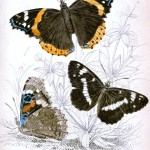 Animal - Insect - Butterfly - British Butterflies -  (11)