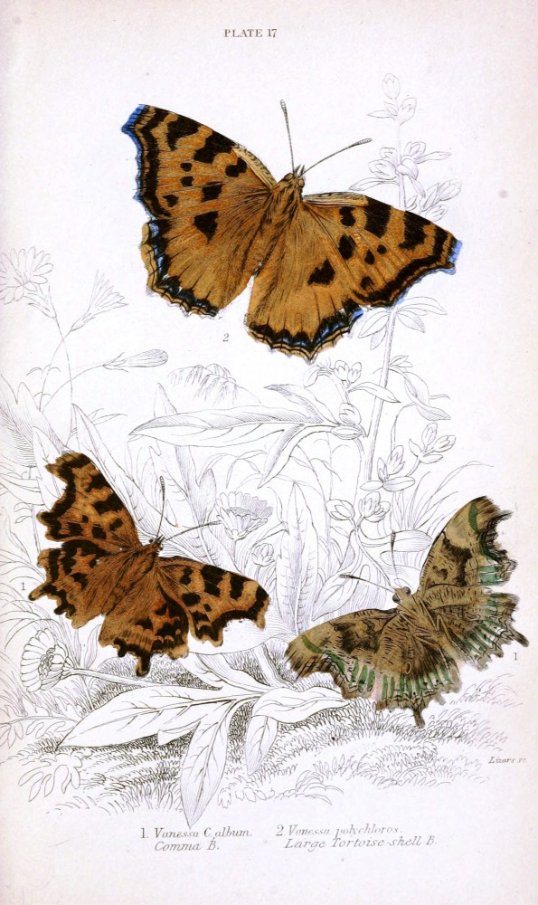 Animal - Insect - Butterfly - British Butterflies -  (13)