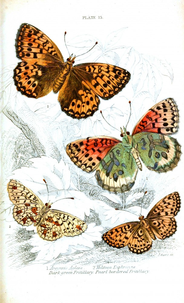 Animal - Insect - Butterfly - British Butterflies -  (14)