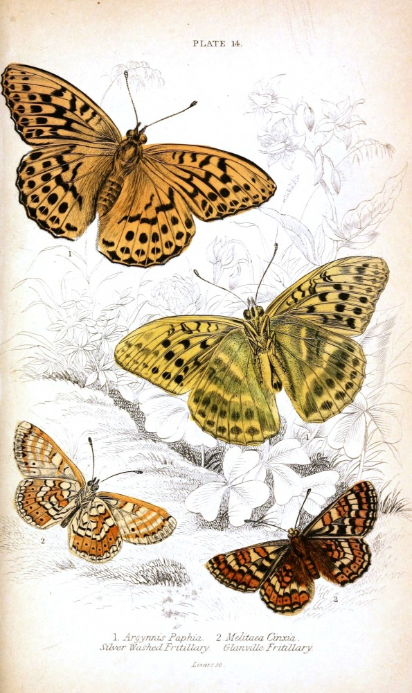 Animal - Insect - Butterfly - British Butterflies -  (15)