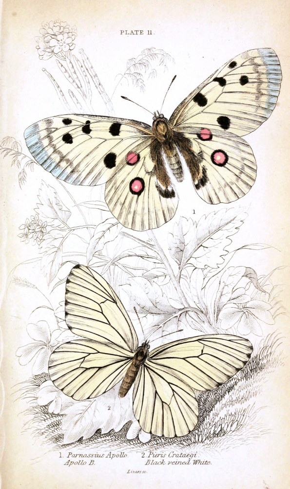 Animal - Insect - Butterfly - British Butterflies -  (17)
