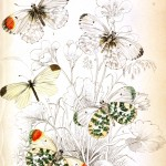 Animal - Insect - Butterfly - British Butterflies -  (18)